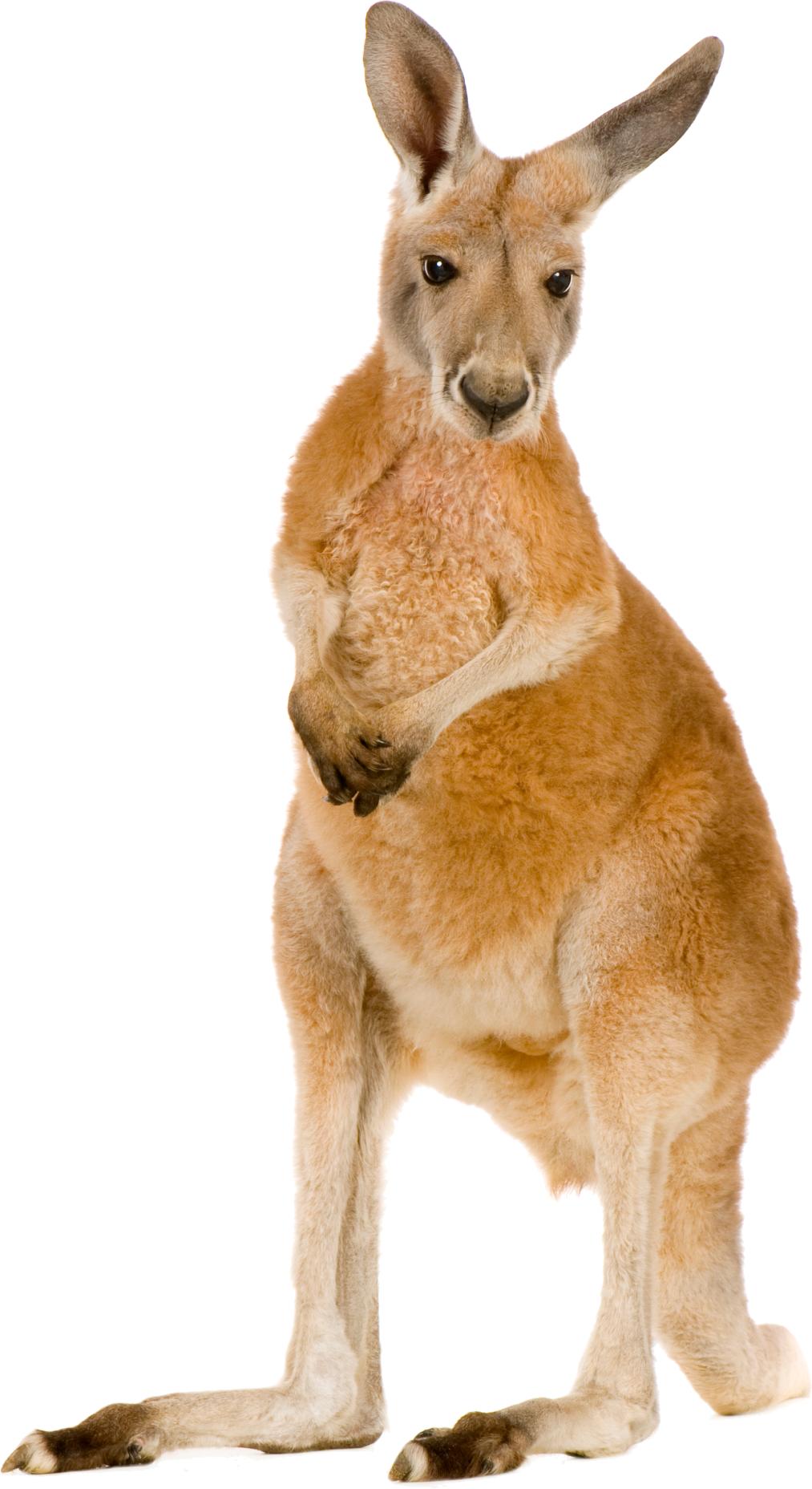 Kangaroo Cute Deer Cartoon Jumping
